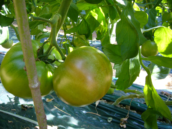 oose_tomato